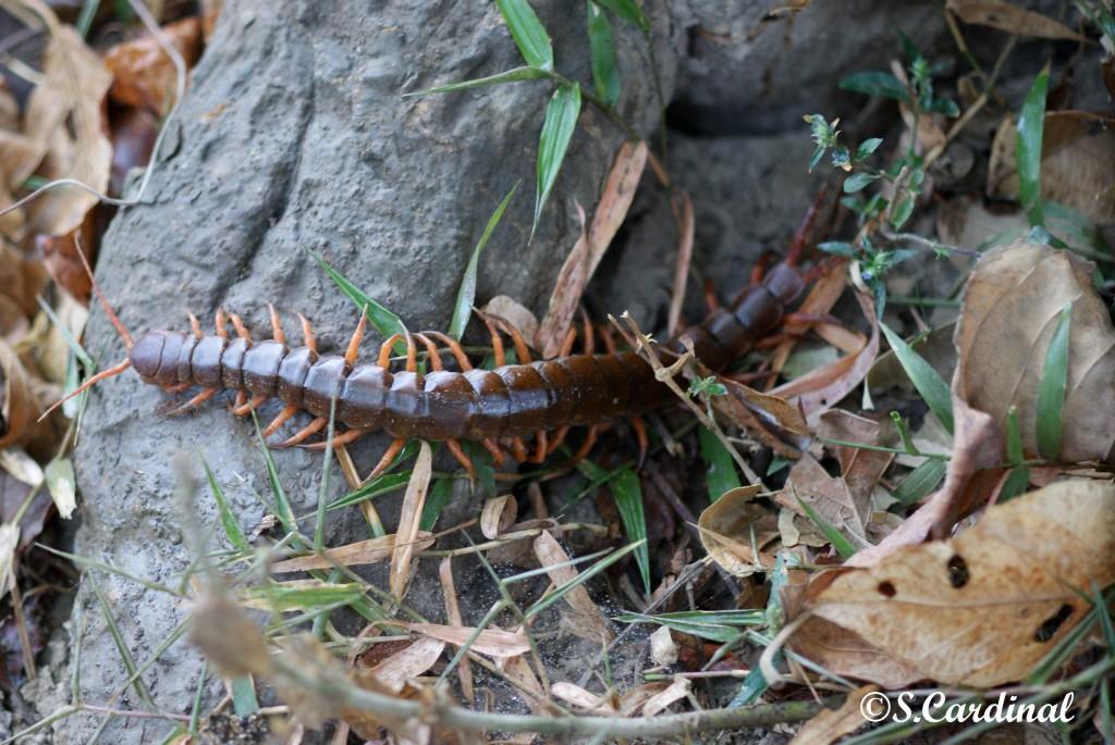 Le scolopendre... Ma hantise pendant mon séjour dans la jungle laotienne...